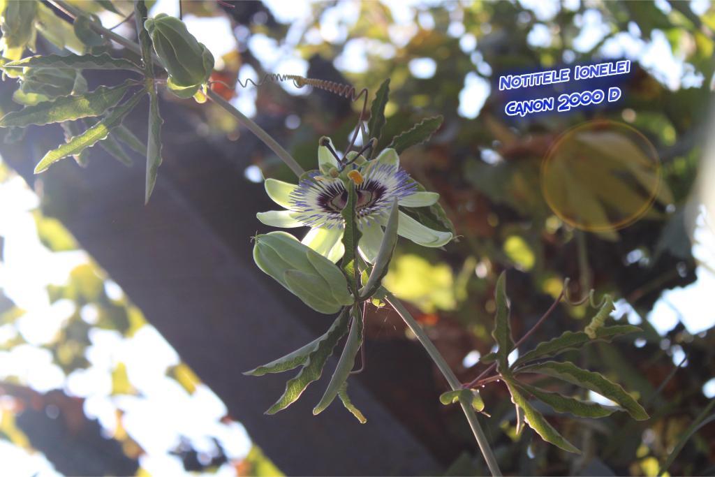 passiflora, floarea pasiunii, Canon 2000 D